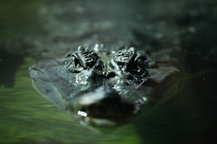 Крокодил (Crocodile, Crocodylia, Loricata)