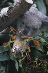 Koala (h16nakaji) Tags: animal mammal zoo