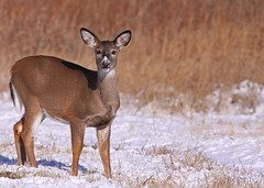 White-tailed Deer...#1 (Guy Lichter Photography - Thank you for 3M views) Tags: canada animals canon wildlife manitoba deer mammals 50d canonef400mmf56l beaudrypark deerwhitetailed deerwhitetail amazingwildlifephotography