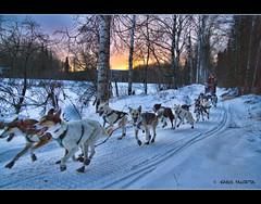 Jodi Bailey (Akfirebug) Tags: dogs alaska dogmushing dogsledrace 100miles akfirebug jodibailey solstice100