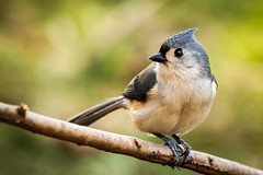 His name is Titmouse, Titmouse Piigoi (Mihai Andritoiu) Tags: winter wild usa bird nature field birds america canon photography grey us is photo newjersey backyard branch dof unitedstates wildlife iii flash feathers nj feeder crest explore chatham ii chickadee shallow usm titmouse tufted northeast birdwatching 70200 depth ef teleconverter fill eosrebel songbird bicolor extender 70200mm motat x2 500d 20x f28l paridae explored baeolophus pitigoi t1i