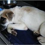『壽山收容所』展示貓區1217,母帶子多組、日本狆、秋田、米格魯、雪那瑞、梗、貓很多、20111220 thumbnail