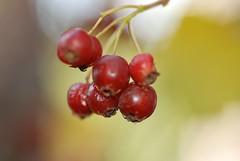 Berries #4 (akk_rus) Tags: park nature berry nikon berries russia moscow tamron moskau moscou     d80  tamronspaf90mmf28dimacro nikond80 50 park50thanniversaryofoctoberrevolution