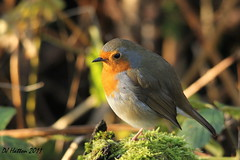 Robin in December Sunshine . Explored 22.12.11 (claylaner) Tags: park bird robin garden erithacusrubecula country ngc canond60 stockport styal passerine december2011 mygearandme