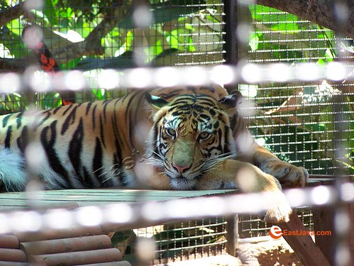 Lovely Tiger On The Cage