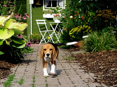 Karo points to the right (FleurFlower) Tags: dog beagle young hond karo jong tailtip staartpunt