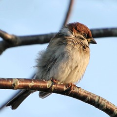 Soaked Tree Sparrow (Ger Bosma) Tags: bird dutch europe european thenetherlands treesparrow passermontanus ringmus moineaufriquet feldsperling gorrinmolinero passeramattugia mygearandme mygearandmepremium mygearandmebronze img281022