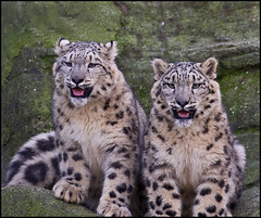 _SG_2011_12_6005_IMG_8896 (_SG_) Tags: schnee snow canon lens eos is leopard 7d usm ef snowleopard 70300 objektiv schneeleopard llens ef70300 70300l f456l eos7d canoneos7d canon7d lobjektiv ef70300f456lisusm