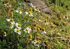 Anthemis cotula TAPPGÅSEBLOM (per.aasen) Tags: asteraceae compositae anthemis anthemiscotula tappgåseblom