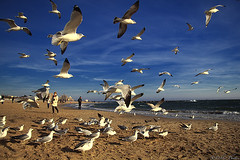 Seagulls (D. Photos) Tags: nyc sky seagulls beach birds brooklyn bluesky coneyislandbeach debbiephotos coneyislandseagulls brooklynbeachseagulls