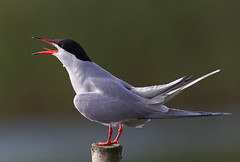 Common Tern @ sunrise, Netherlands. (Richard Verroen) Tags: bird birds vogels tern vogel terns commontern sternahirundo visdiefje visdief verroen richardverroen
