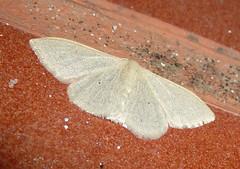 Geometridae. Sterrhinae. Idaeini .Idaea straminata. Plain Wave (gailhampshire) Tags: wave geometridae plain idaea sterrhinae straminata idaeini taxonomy:binominal=idaeastraminata