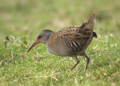 Water Rail (Rallus aquaticus) (John (Gio) * OVER 100,000 VIEWS *) Tags: bird nature sussex wildlife reserve rail olympus gio birdwatcher rspb visitorscentre waterrail fourthirds pulborough nbw rallusaquaticus zuikodigitaled50200mmf2835swd
