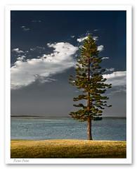 lone pine (reidy320) Tags: seascape centralcoast simple norfolkpine
