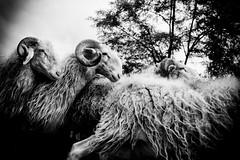 Compter les moutons... (laurent.ferriere) Tags: rural campagne moutons pyrnes brebis transhumance troupeau
