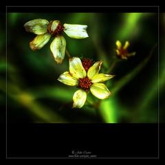 Viejas Glorias (Julio_Castro) Tags: flowers flores nikon campo montaa senderismo viejasglorias nikond200 juliocastro oltusfotos viejasflores