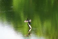 Ageless and Evergreen (osvaldoeaf) Tags: brazil lake reflection green bird love nature water fauna america wings south feathers lagoon evergreen cormorant goiânia goiás