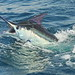 Mitchell Firestein-Blue Marlin (3)