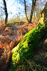 Mossy birch (IAN ELSON) Tags: moss cannock chase bracken birch
