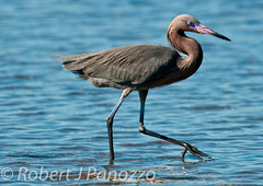 Water Walking (ChicagoBob46) Tags: bird sanibel sanibelisland egret autofocus reddishegret naturesgallery natureoutpost goldwildlife 100commentgroup birdperfect mothernaturesgreenearth mygearandme allnaturesparadise amazingwildlifephotography