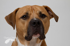 Me? handsome ? (Penelope Malby Photography) Tags: rescue dog mastiff canine bailey needahome mastiffcross staffycross tanandwhitedog epsomcaninerescue
