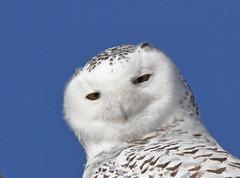 You're not a mouse. (hplecky) Tags: calgary alberta owl owls snowyowl nycteascandiaca