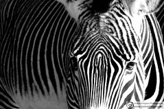 Day at the zoo 4 (Just a guy who likes to take pictures) Tags: city portrait urban bw en white black holland blanco netherlands monochrome dutch face look amsterdam animal hair zoo und eyes europa europe y zwartwit body stripes negro stripe nederland thenetherlands natura porträt zebra holanda contact nl tuin aug ogen augen portret zwart wit weiss dieren paysbas garten dier schwarz tiergarten metropol stad kop artis tier noordholland niederlande oog paard zw strepen dierentuin haren lichaam the gezicht haar streep hoofd lijf körper naturaartismagistra zoogdier magistra zebrapaard
