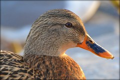 Bird - Duck - Mallard (blmiers2) Tags: bird birds duck nikon mallard anas anatidae platyrhynchos anseriformes specanimal d3100 blm18 blmiers2