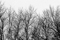24/366 (2012): Winter Trees (Kevin Riggins Photography) Tags: camera trees winter blackandwhite bw skyline iowa desmoines iphone photogene thechallengefactory iphoneonly snapseed