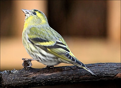 Young Male Siskin (Judy's Wildlife Garden) Tags: siskin youngmale judykennett knightonpowys