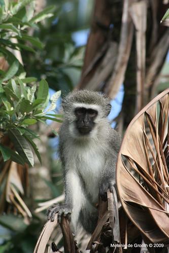 Vervet Monkey 3