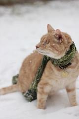 gumbo (wee3beasties) Tags: orange snow scarf cat orangecat blind toothless eyeless blindcat sooc eyelesscat toothlesscat