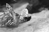 Sea Turtle (Lauren Barkume) Tags: africa vacation blackandwhite white black swim southafrica december turtle ct capetown westerncape 2011 twooceansaquarium laurenbarkume gettyimagesmeandafrica1