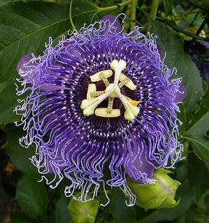 Passiflora 'Byte'