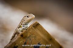 Galapagos Lava Lizard (Petri Lopia) Tags: travel vacation nature animal animals canon island lava islands ecuador lizard galapagos espanola galapagosislands tropidurus galapagosisland