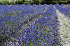 Organic lavender fields (a sauvage image) Tags: france french fields barjac organiclavender