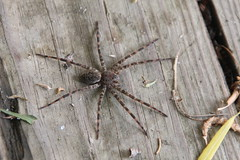 Fishing Spider (rewerts2012) Tags: insectsandspiders