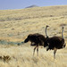Namibia C14 to Windhoek Ostrich