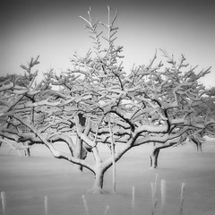 persimmon orchard, winter (StephenCairns) Tags: trees winter blackandwhite bw snow field japan night  persimmon   gifu   motosu   30mmsigmaf14 canon50d stephencairns persimmontrees 50dcanon persimmonorchard
