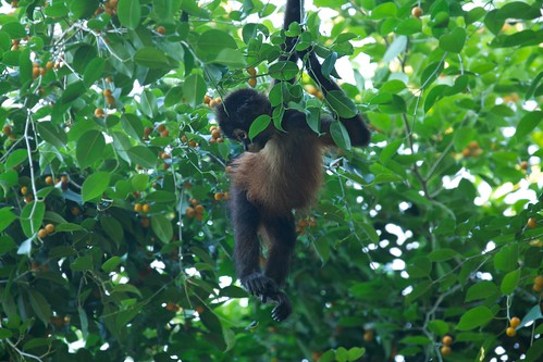 Juvenile Spider Monkey