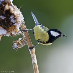 _DSC0290 (Lino Sgaravizzi ) Tags: fauna nikon natura uccelli cinciallegra mygearandme mygearandmepremium mygearandmebronze mygearandmesilver mygearandmegold mygearandmeplatinum