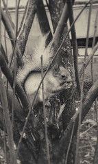 irina_yourova_130331 (irinayourova) Tags: street animal squirrel miracle nut fortuity littlesquirrel squirrelonthetree