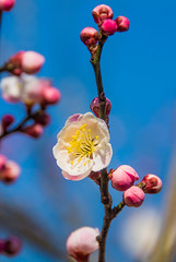 Ome-4317 (Sarah Sutter) Tags: flowers nature japan tokyo spring blossoms ome hanami yoshino plumblossoms floweringtrees baigo yoshinobaigo