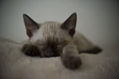 she sleeps (TBaum Photography) Tags: pet cute animal blueeyes ears whiskers paws