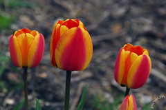 Tulips, Rock Gardens (Jainbow) Tags: rock gardens tulips seafront southsea jainbow