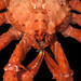 Falkland Islands-18-019-Diomedia crab from_200m-Credit David Barnes