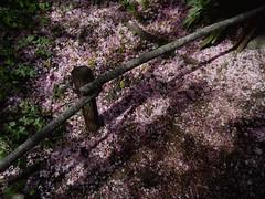 Neige rose... Pink snow.... (alainpere407) Tags: pink paris rose cherryblossoms jardindesplantes parisromantique cerisiersenfleurs romanticparis vividstriking alainpere