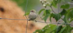 Winter Wren (joovic) Tags: winter bird wren troglodytes penticton