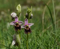 Les Jumeaux - Ophrys Bourdon - Lapiaz de Myon (francky25) Tags: les de orchids franchecomt orchides flore sauvages jumeaux ophrys doubs bourdon myon lapiaz