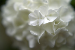 DSC_0152.NEF (tibal26) Tags: flower closeup natural x10